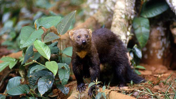 The tayra is one of the species found among the typical fauna of Carajás Forest.