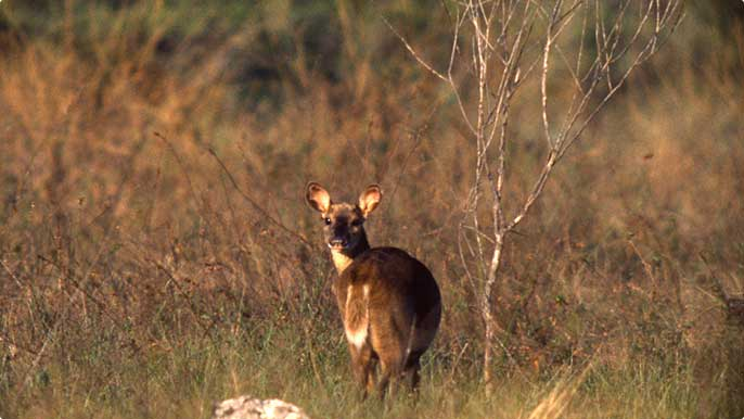 Deer are also found in Carajás Forest, which we help to preserve.