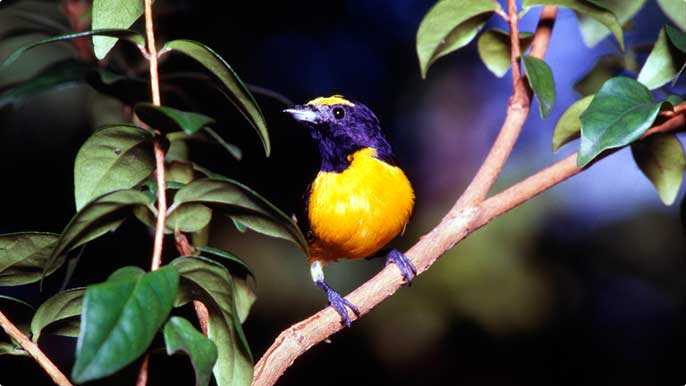The Purple-throated Euphonia (Euphonia chlorotica), found at the Vale Natural Reserve.
