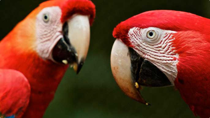 Red-and-green Macaws are also found at the Vale Zoo and Botanical Park.