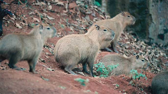 At the Vale Zoo and Botanical Park, animals such as capybaras live in conditions very similar to their natural habitat.