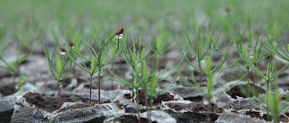 Many small, wet, green seedlings in the ground